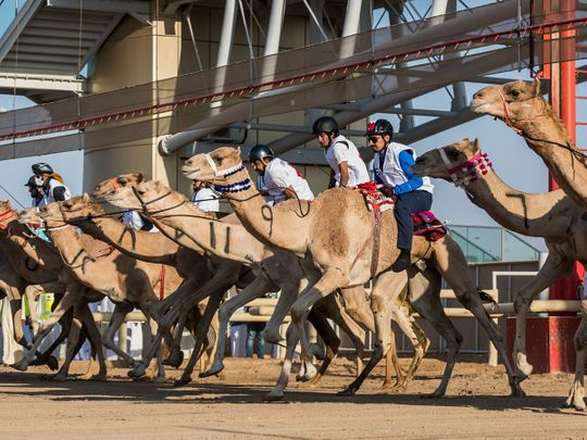 Preliminary races for Camel Marathon to kick-off on Friday in UAE