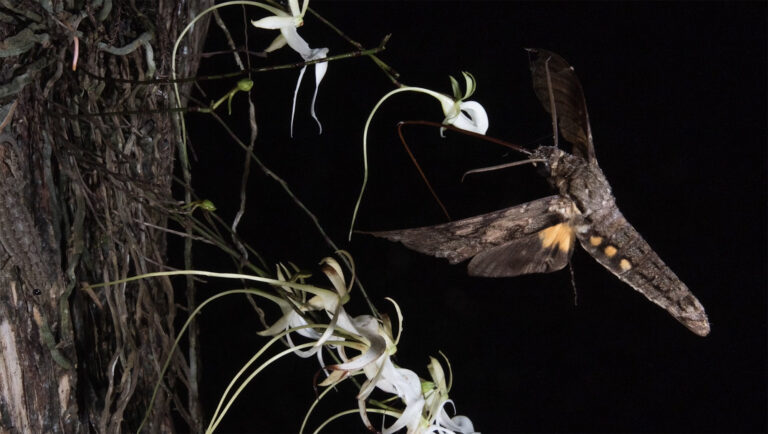Chasing Ghosts: A Short Documentary Debunks a Long-Held Theory About What Pollinates the Ghost Orchid
