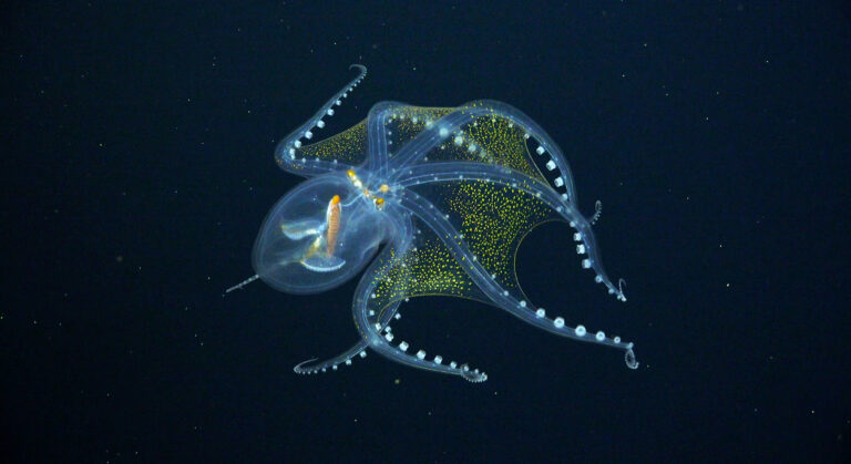 A Rare Sighting of a Glass Octopus Reveals its Nearly Transparent Membrane in Extraordinary Detail